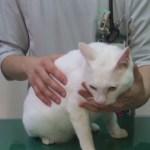 獣医さんによる、猫に目薬をさすときの3つのポイント