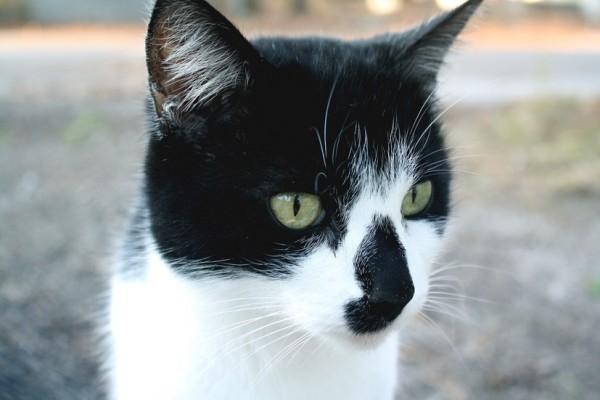 150308cat 600x400 - 本日の美人猫vol.125