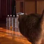 ピンポン球×ペットボトル×猫で、ボーリングが楽しめると判明