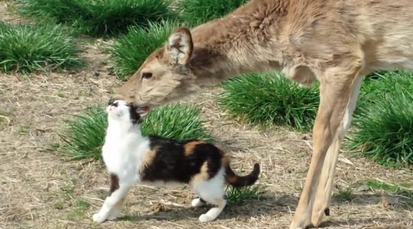 150328catanddeer 600x333 - 幼なじみの猫と鹿、仲が良すぎてまるで恋人