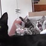猫の家族のお出迎え、玄関開けたらあくびを連発