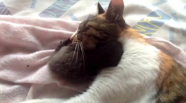 150422oyakocat 600x331 - 一心同体親猫子猫、子猫を巻いて親猫熟睡