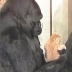 ゴリラに抱かれる茶縞の子猫、鏡を見ながらおっかなびっくり