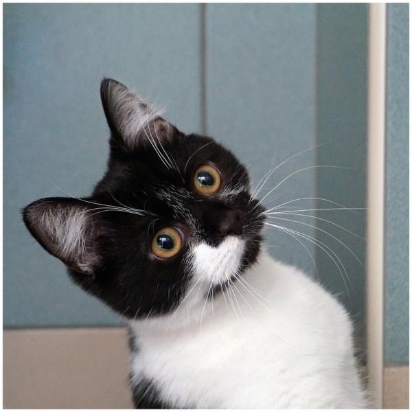 150630cat 600x600 - 本日の美人猫vol.142
