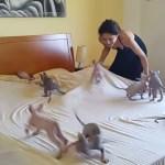ベッドメイクに子猫の助太刀、シワを追いかけ大わらわ