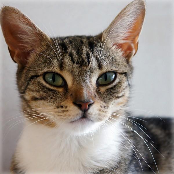 150723catmuffin 600x600 - 本日の美人猫vol.145
