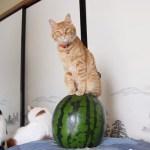 夏告げる猫のまなざし、涼やかに西瓜の上に乗りながら