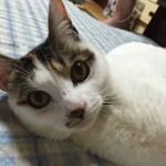 本日の美人猫vol.152