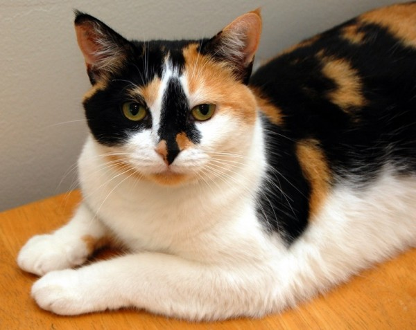 151028cat 600x477 - 本日の美人猫vol.160