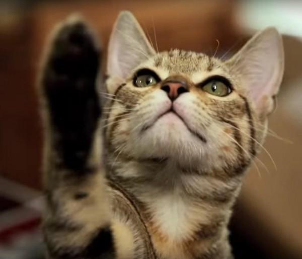 151103Jedicat 600x514 - スター・ウォーズのパロディ動画、猫がフォースを持ったなら