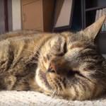 ゴロリと腹見せ猫の校長、来客もてなす満面の寝顔