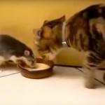 ミルクを巡る猫と鼠の争奪戦、試合巧者の見事な引き技
