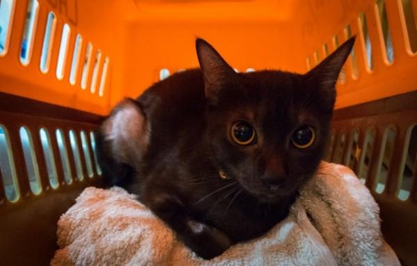 160130CAT 600x383 - 夜・休日の容体変化に備える、猫用の夜間救急診療機関