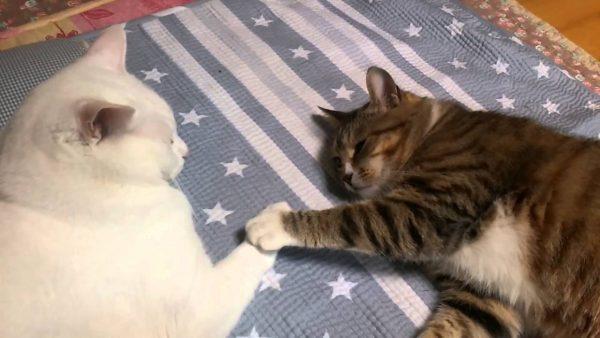 160513shiawase 600x338 - スッピトスッピト繰り返す、白とキジトラ猫の手合わせ