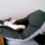 クッションに埋もれ眠る三毛の猫、不安定な姿勢の理由は