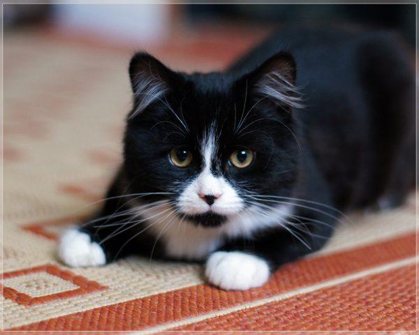 160715blackcat 600x480 - 本日の美人猫vol.196