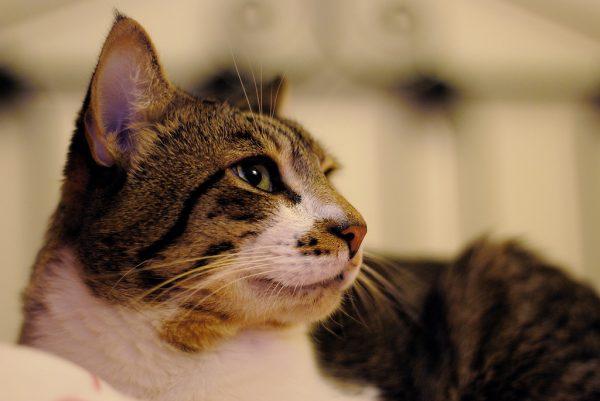 160903CAT 600x401 - 本日の美人猫vol.203