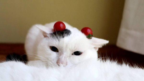 161008tomatocat 600x338 - 白黒の頭に二粒ミニトマト、猫は眠たげ顎を埋めて