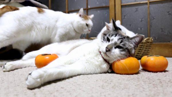 161212catpillow 600x338 - 猫が寝転ぶ柿枕、高さも形も申し分なし