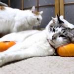 猫が寝転ぶ柿枕、高さも形も申し分なし