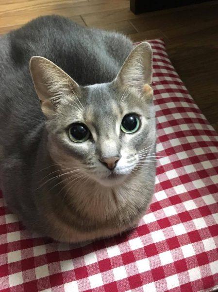 170114cat02 449x600 - 本日の美人猫vol.221