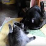 母ちゃん見ながら覚える子猫、脚上げ前屈毛づくろい