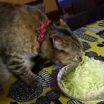 ご飯支度の隙を盗んでつまみ食い、猫草代わりのキャベツの千切り