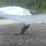 ハンモックの上に乗りたいグレー猫、まさかの位置から見事に飛び乗る