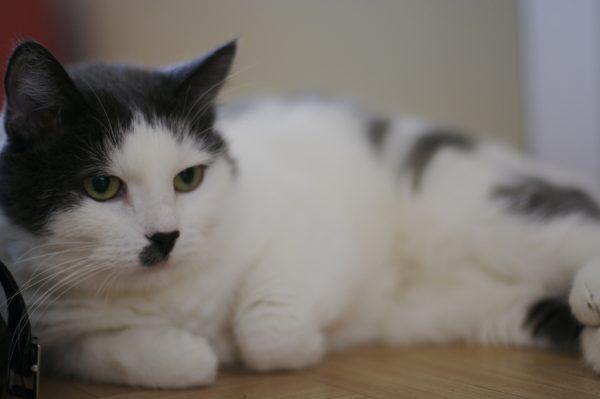 170212cat 600x399 - 本日の美人猫vol.224