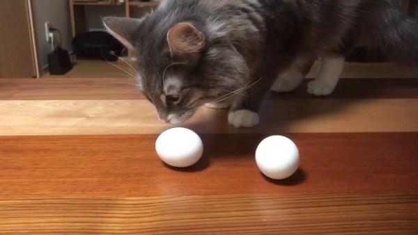 170610catandegg 600x338 - モフモフのお腹で抱いて温めて、猫の温もり卵に伝わる