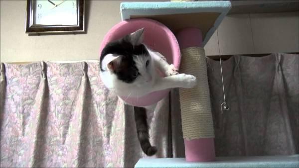 170814cattower 600x338 - キャットタワーの筒にハマった白黒猫、バックもできず前へも出られず