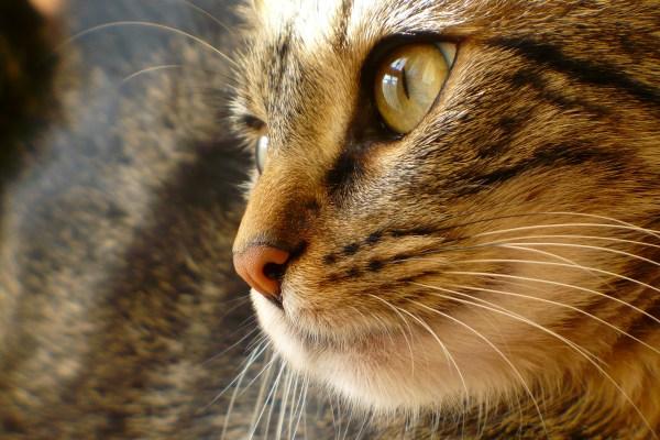 171003catface 600x400 - 本日の美人猫vol.248