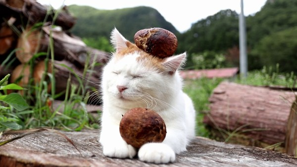 171006matsutakecat 600x338 - 白き秋載き抱える猫、松茸をコロリと落としてなぜかドヤ顔