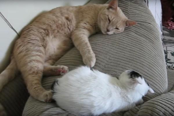 171129cats 600x402 - 眠たげな子猫にお腹を吸われた雄猫、離れても手は子猫のそばに