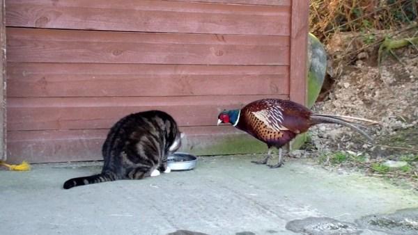 171213catvspheasant 600x338 - ご飯を取られて困惑する猫、罪を憎んでキジを憎まず