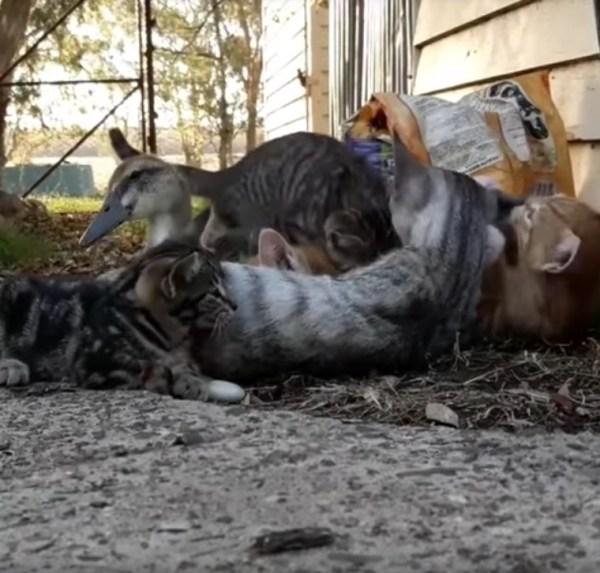 180113cat 600x573 - 猫によるワンオペ育児の脆弱性、アヒルの雛に突破される