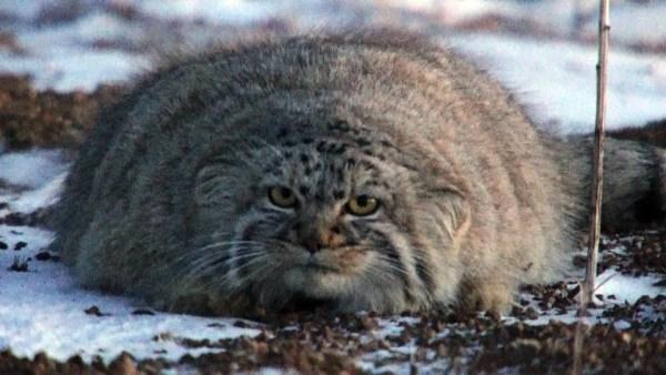 180222manurucat01 600x338 - 「ダーウィンが来た!」マヌルネコ特集が4月放送へ。動画クリップを猫の日に先行公開
