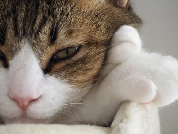 180331catbijin02 600x450 - 本日の美人猫vol.260