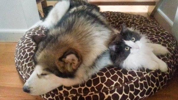 180611cat 600x338 - 犬のベッドに押し入る猫、仲良くじゃれつつ一体化
