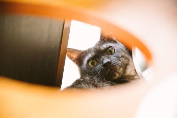"180612 edo05 600x400 - 両国で""江戸版ねこカフェ""今日から開催、収益の一部は保護猫活動支援に"