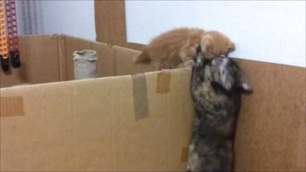 180910cat 600x338 - 壁を乗り越え脱出する子猫、母ちゃんの胸へ軟着陸を決める