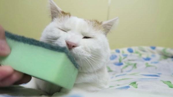 180914cat 600x338 - 猫のフェイシャル毛づくろいに、台所用スポンジが大活躍