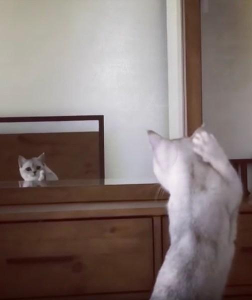 181010cat 505x600 - 鏡に映る自分の姿に驚く猫、耳の実存を初めて確認