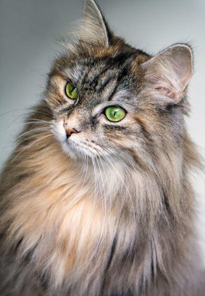 181020cat 417x600 - 本日の美人猫vol.289