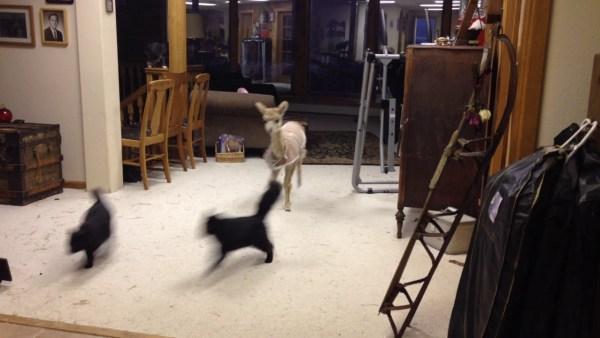 190227cat02 600x338 - 鬼さんこちらと逃げる黒猫、飼いアルパカとの鬼ごっこ