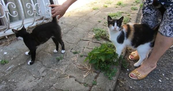191103002cat 1920 600x316 - ほかの猫より私を撫でろと実力行使、甘える三毛猫ジェラシー全開