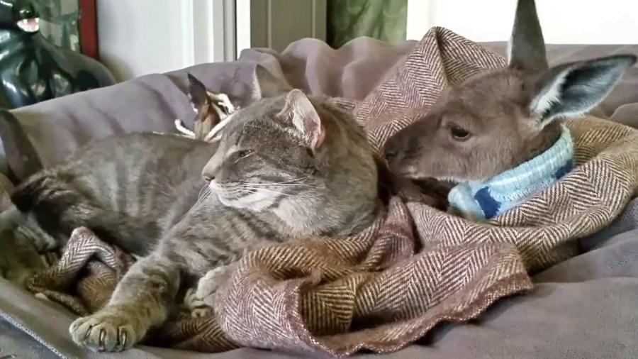 カンガルーに毛づくろいされつつ添い寝する猫、舐められながら夢の国へ