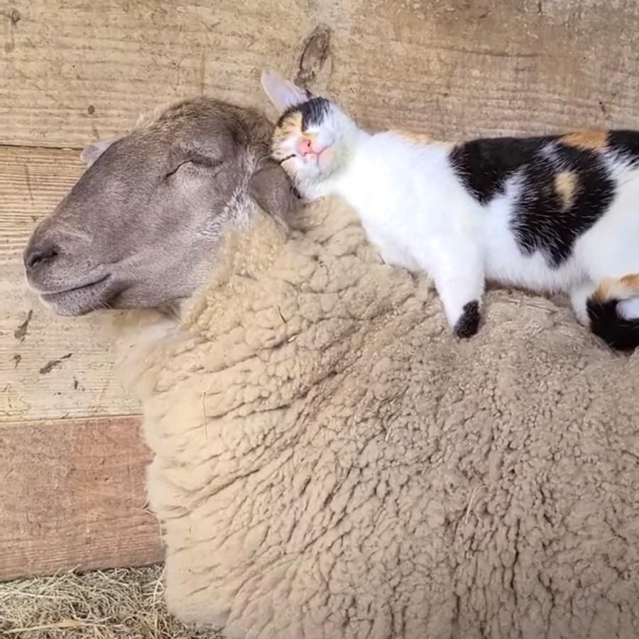 210516cat 1024x1024 - 擦れ合う羊毛vs猫毛の戦い、どっちが気持ち良さげな顔か