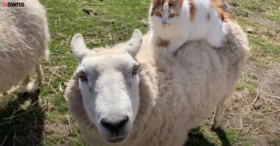 210519cat 1024x535 - 背に乗って2匹仲よく猫羊一体、一体全体何物状態