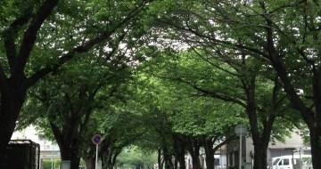 毛利町の桜並木
